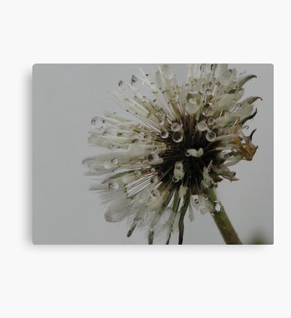 Spotted Fluff Canvas Print