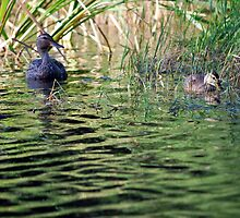 Female Mallard and Duckling by deb cole