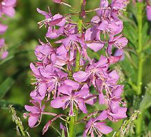 Fireweeds by Kathi Arnell