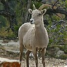 Bighorn sheep by jozi1