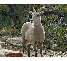 Bighorn sheep Photographic Print