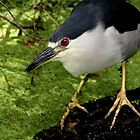 Night Heron by mhm710