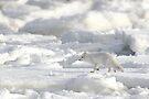 Arctic Fox #2, on the Tundra, Hudson Bay, Canada  by Carole-Anne