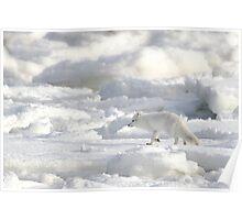 Arctic Fox #2, on the Tundra, Hudson Bay, Canada  Poster