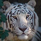 White Tiger,New Orleans Zoo 2 by ldermid75