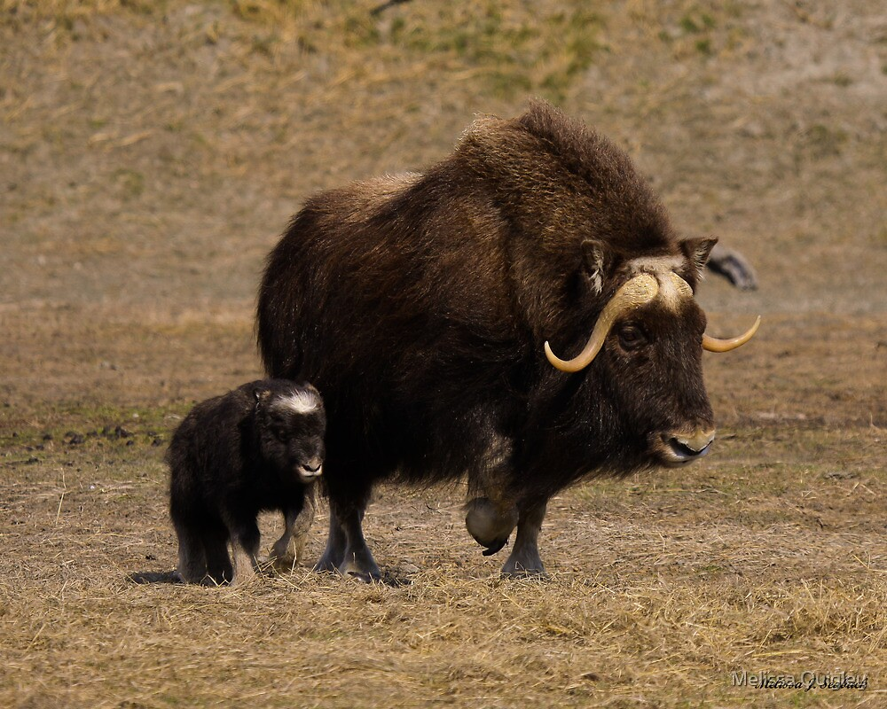 Quot Mama And Baby Musk Ox Quot By Melissa Seaback Redbubble
