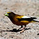 Evening Grosbeak by flyfish70