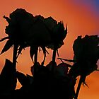 Roses by Sunset by Anthony Superina