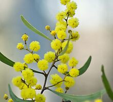 Sword Wattle by garts