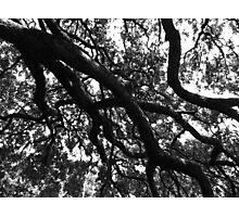 Houston Oak Branches Photographic Print