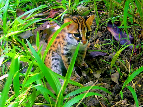 Philippine Leopard by eq29