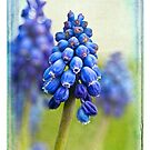 Reverie Muscari by Leslie Nicole