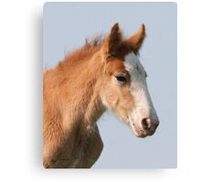 Clydesdale Foal Canvas Print