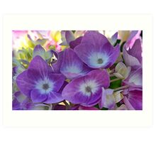Lavender Hydrangea Blossoms - Early Morning Light Art Print