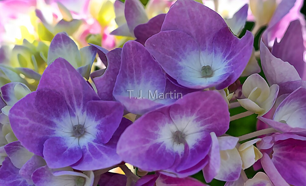 Lavender Hydrangea Blossoms - Early Morning Light by T.J. Martin