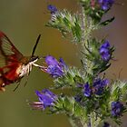 It's A Bird, it's A Moth, it's a Hummingbird Moth by Jim Cumming