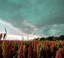 In the Maize by Sean Ramsey