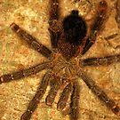 Pink Toe Tarantula (Avicularia avicularia) - Bolivia by Jason Weigner