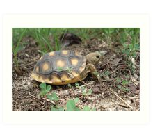 GOPHER TORTOISE HATCHLING Art Print