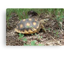 GOPHER TORTOISE HATCHLING Canvas Print