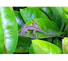 Juvenile Cuban Anole Lizard - Florida Photographic Print