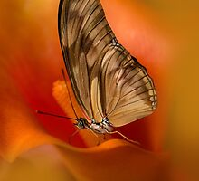 Brown Butterfly on Calia flower by JBlaminsky