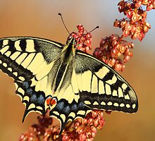 Swallowtail butterfly by Remo Savisaar