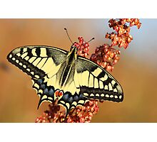 Swallowtail butterfly Photographic Print