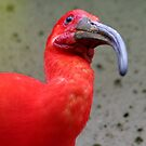 Red Ibis by AnnDixon
