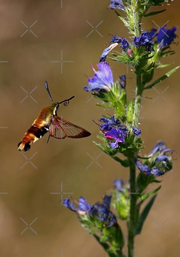 Hummingbird Moth by Jim Cumming
