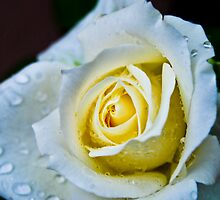 Wet Rose by Neha  Gupta