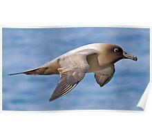 Light-mantled Sooty Albatross Poster