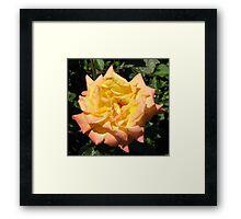 Joyous Rose Framed Print
