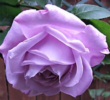 Demure Rose by BlueMoonRose