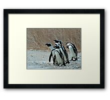 African Penguins Framed Print