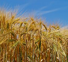Ripening Barley in the Summer Sun by Alex Cassels