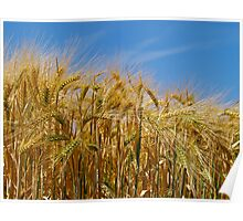 Ripening Barley in the Summer Sun Poster