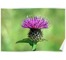Common Knapweed,wild flower Poster