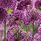 Alliums in Hampshire by Alex Cassels