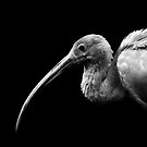 Not so Scarlet Ibis by Damienne Bingham