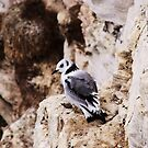 young kittiwake bird by xxnatbxx