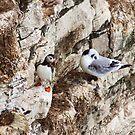 puffin and kittiwake on bempton cliffs by xxnatbxx