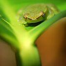 Greater Hatchet Faced Treefrog (Sphaenorhynchus lacteus) - Bolivia by Jason Weigner