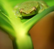 Greater Hatchet Faced Treefrog (Sphaenorhynchus lacteus) - Bolivia by Jason Weigner