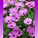 Riot of Cape Daisies in Reflection Frame by BlueMoonRose