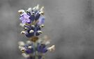 Plant lavender for good luck by Gregoria  Gregoriou Crowe