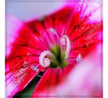 Dianthus carzophyllus close-up Photographic Print