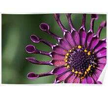 African Trailing Daisy Poster
