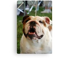 Olde English Bulldog Canvas Print