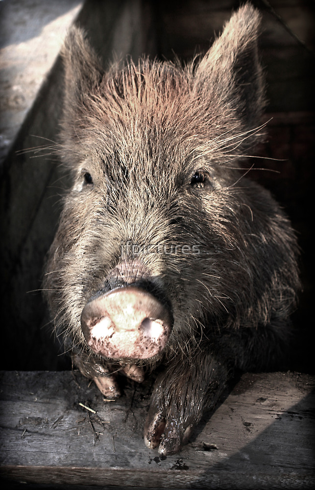 this little piggy by jfpictures